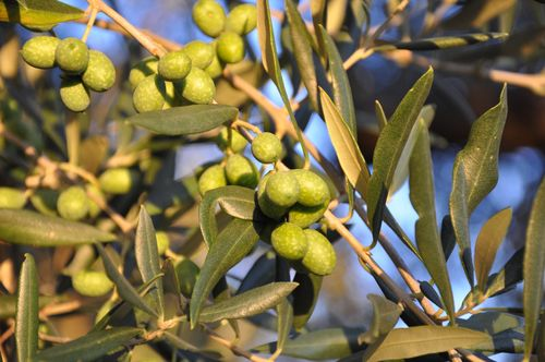 Olives from Fontanaro, an Italy agriturismo