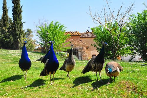 Peacocks at a local farm in Tuscany