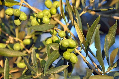 Olives for Fontanaro's extra virgin olive oil