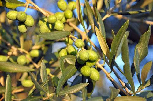 What better gift than Italian olives?